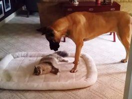 Hunden forsøker å passere de to kattene, men da blir det et stort spetakkel