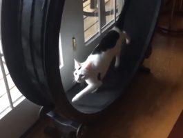 Katt med egen tredemølle blir veldig pratsom
