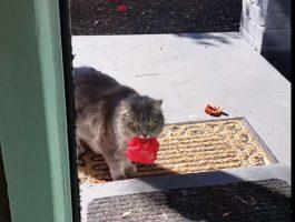 Når kvinnen åpner døra får hun seg en overraskelse. Se hva katten gir henne