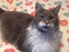 Maine Coon-katten skal legge seg, men først har den noe å fortelle